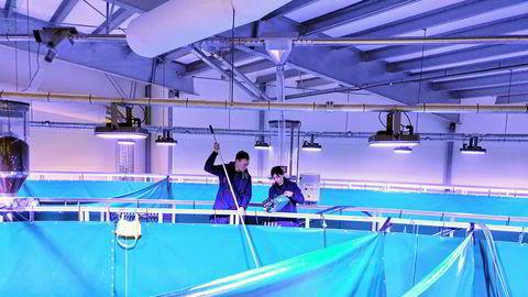 I et blålig lys i en industrihall i Fredrikstad produseres Norges første laks på land i et kommersielt resirkuleringsanlegg.
