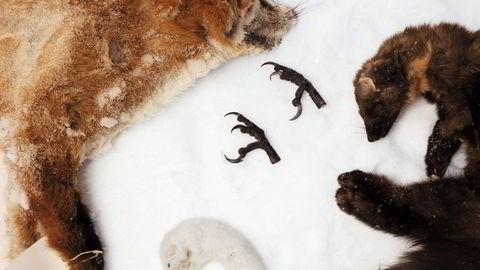 Flere norske kommuner har fortsatt skuddpremier på dyr som rev og røyskatt, mår og kråke.