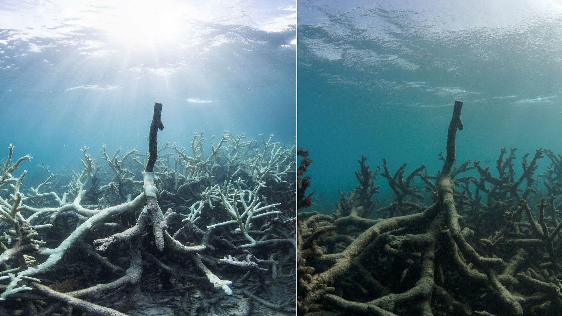 Disse to bildene er tatt i henholdsvis mars og mai 2016. På to måneder ble korallene ødelagt av bleking på Lizard Island som er en del av Great Barrier Reef i Australia.