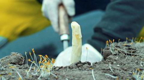 Sjelden vare. For første gang i Norge høstes hvit asparges for salg i Norge.