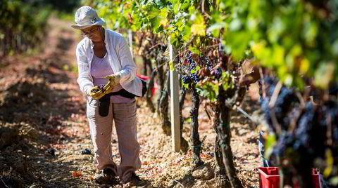 Om ikke lenge høstes en ny årgang i Montalcino. Dette er fra innhøsting av 2013-årgangen.