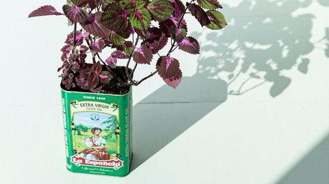 Som smurt. En tom olivenoljeboks kan også funke som potte for den «perfekte nybegynnerplanten», Solenostemon scutellarioides variegata – bedre kjent som praktspragle.