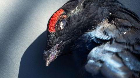 Trenger vi kjøttet? Nei. Er arten avhengig av at vi jakter den? Nei. Så hvorfor måtte orrhanen dø?
