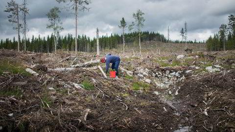 Ja, det er mye karbon lagra i skogsjord, men skogbruk påvirker lageret nede i bakken i liten grad, skriver Rune Hedegart.