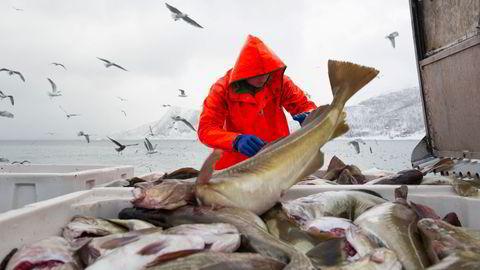 I dag sendes nær halvparten av all torsk ubearbeidet ut av landet, skriver artikkelforfatteren. Her håndteres skrei ombord «Mjosund» i 2017-sesongen.