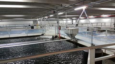 Settefisk eller smolt er små laks som produseres på land til noen hundre grams størrelse før de settes ut i sjøen. Illustrasjonsbilde fra et annet anlegg.
