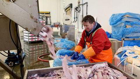 Terje Andresen (57) er til daglig barsjef i Bærum, men har nå sesongjobb i fiskeindustrien i Lofoten.