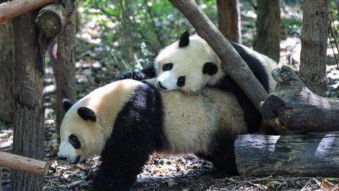 Pandaen er ikke lenger utrydningstruet i Kina. Her to pandaer som leker på en forskningsstasjon i Chengdu i Sichuan-provinsen.