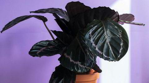 Fagblad. Calatheaens blad er dens ansikt utad og er en god indikator på hvordan planten egentlig har det.