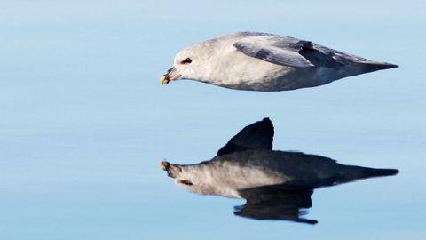 Nesten alle døde havhester utenfor danskekysten hadde plast i magen.