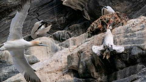 En død havsule henger i fiskegarn av plast på fuglefjellet på Runde. Statsminister Erna Solberg så denne fuglen fra båten på en tur rundt øya.