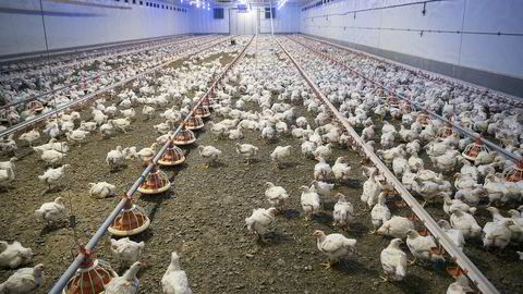 Det er et strengt regelverk for å drive økologisk, med blant annet. krav om tilgang på dagslys gjennom hele livsløpet, fire kvadratmeter per kylling i uteareal, færre kyllinger per kvadratmeter enn konvensjonell drift og krav til økologisk fôr, sier for fatteren. Foto: Ole Morten Melgård