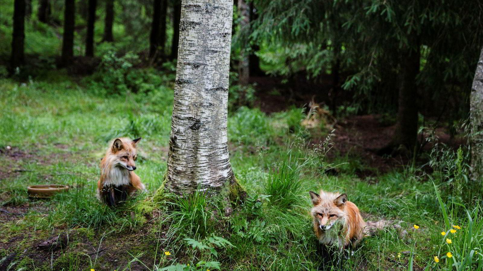 Grunneierne kan korrigere antallet rev slik at det blir forenlig med verdien av rypejakta, men de har ikke den samme muligheten for ulv, mener forfatteren.