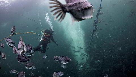 Innleie av dykkere og stell av rensefisken rognkjeks er blant de viktigste årsakene til økte kostnader i oppdrettsnæringen.