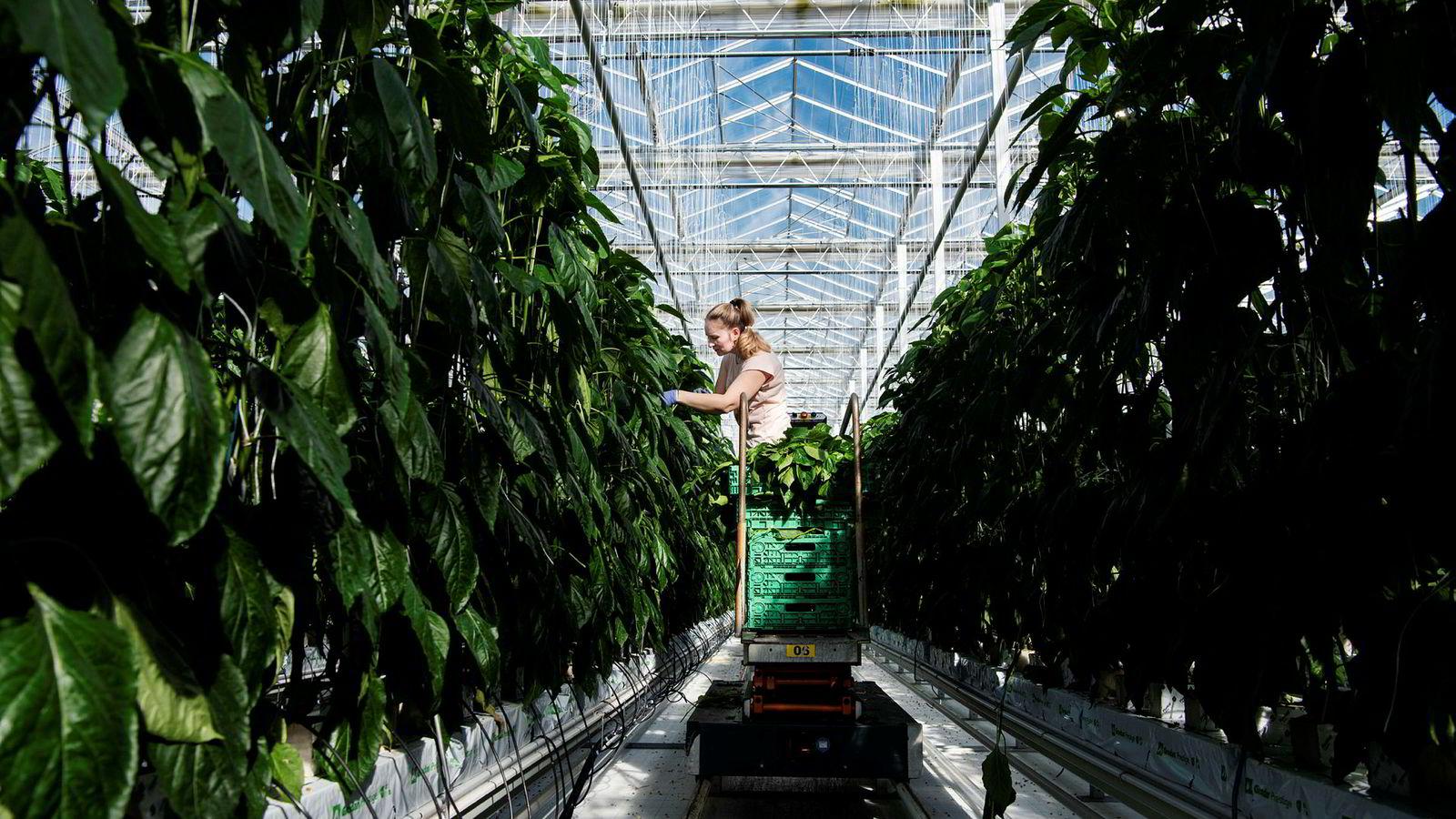 Bankinnskudd fra investeringsselskapet Nysnø er nå med på å finansiere Norges største gartneri, Miljøgartneriet på Jæren. Her steller Gabriela Iuciuc tomatplantene som skal vokse seg store utover våren.