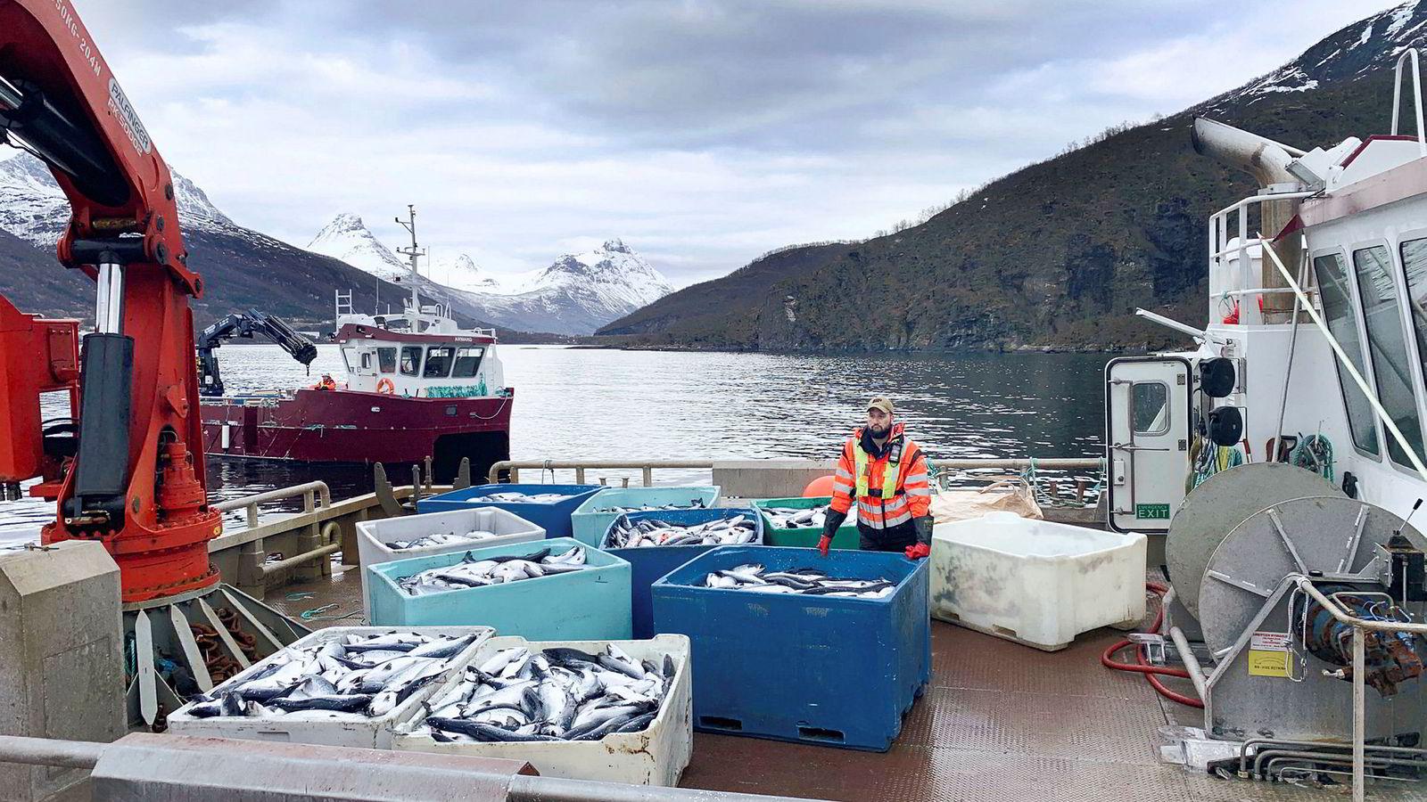 Kasse på kasse med død laks heises opp på kaia på landbasen til Northern Lights Salmon i Balteskard i Sør-Troms, etter at dødelige alger har tatt livet av flere hundre tusen laks.