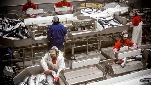 Den første norske oppdrettslaksen har denne uken passert samlebåndene hos Hav Line i Hirtshals. Men fiskeriminister Harald T. Nesvik vil stanse selskapets slakting av fisk om bord på slakteskipet Norwegian Gannet.