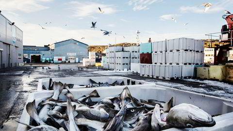 Det eksporteres trolig mer torsk enn det fiskerne rapporterer av fangst, viser ny rapport.