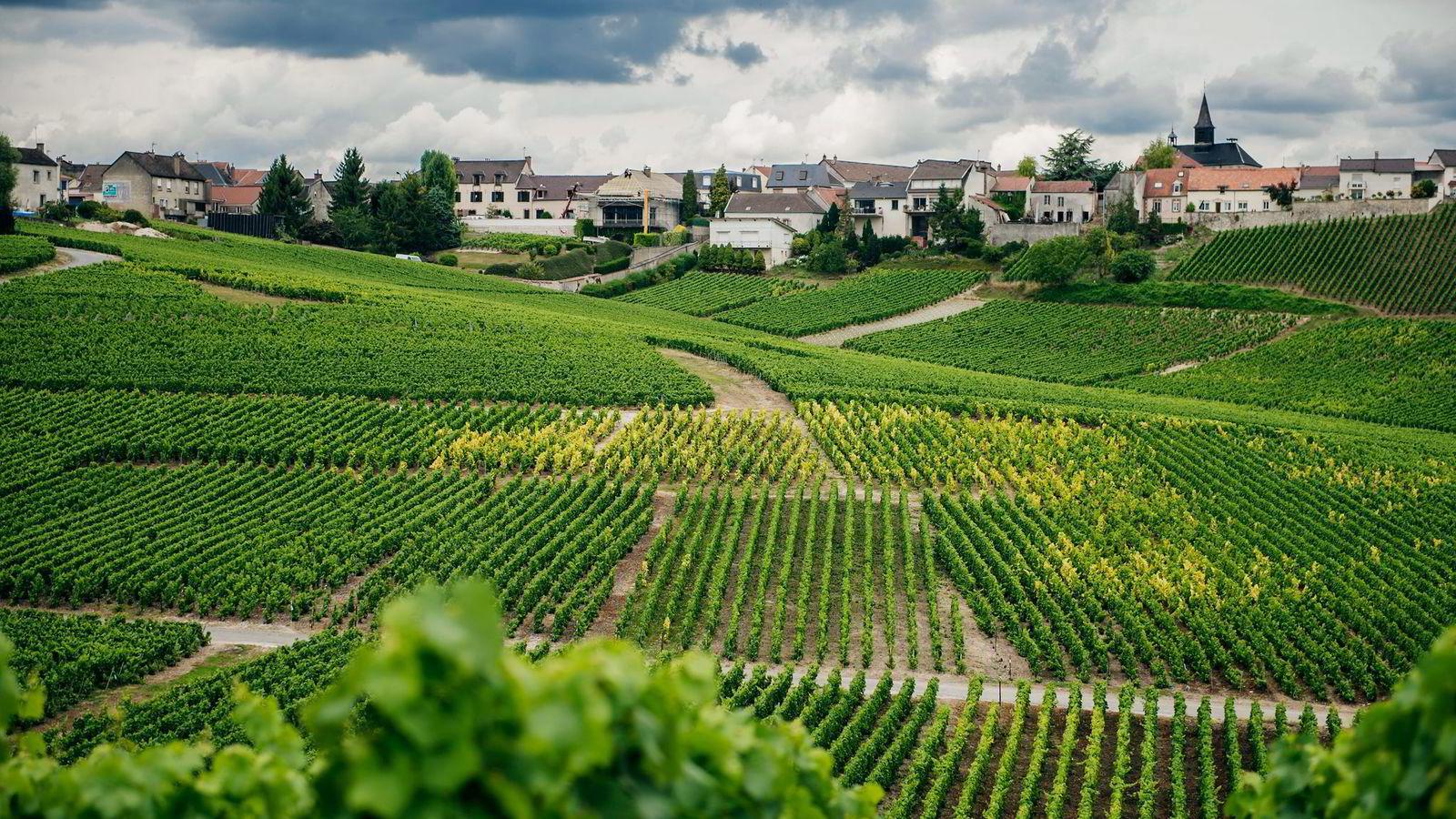 Hver fjerde vingård i Champagne er rammet av kaldt vær. Dette bildet er tatt i Mesnil sur Oger sommeren 2014. Foto: Hampus Lundgren