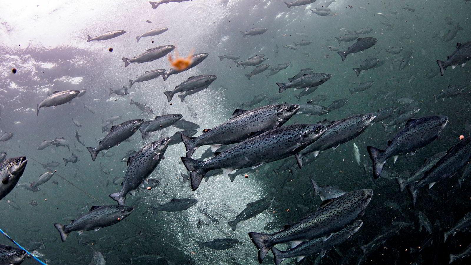 En ny EU-forordning gjør at det særnorske yrket fiskehelsebiolog mister retten til å skrive ut resept fra 2021. Det vil kunne få konsekvenser for norske selskaper som driver med oppdrett.