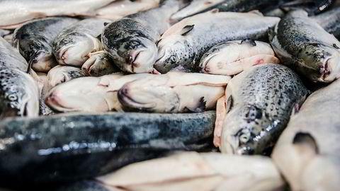 De to siste somrene har lakseoppdrettere mistet store slaktevolum på grunn av utfordringer med lakselus. I sommer ser lusesituasjonen langt lysere ut. Foto: Per Thrana