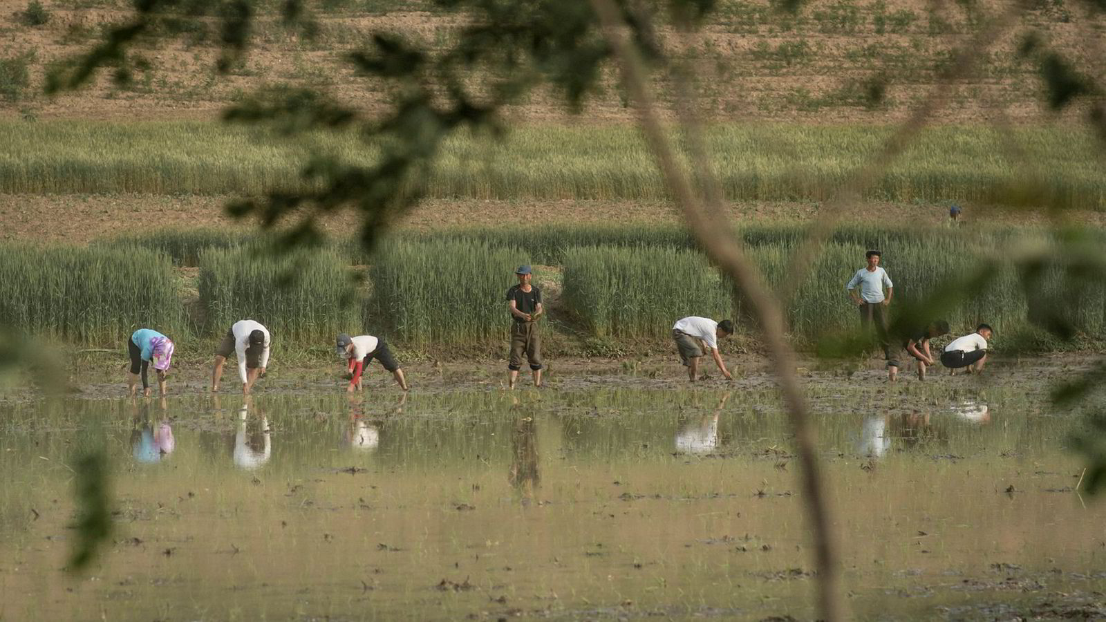 10,9 millioner nordkoreanere har behov for humanitær bistand. På bildet planter folk ris i en åker utenfor byen Kaesong.