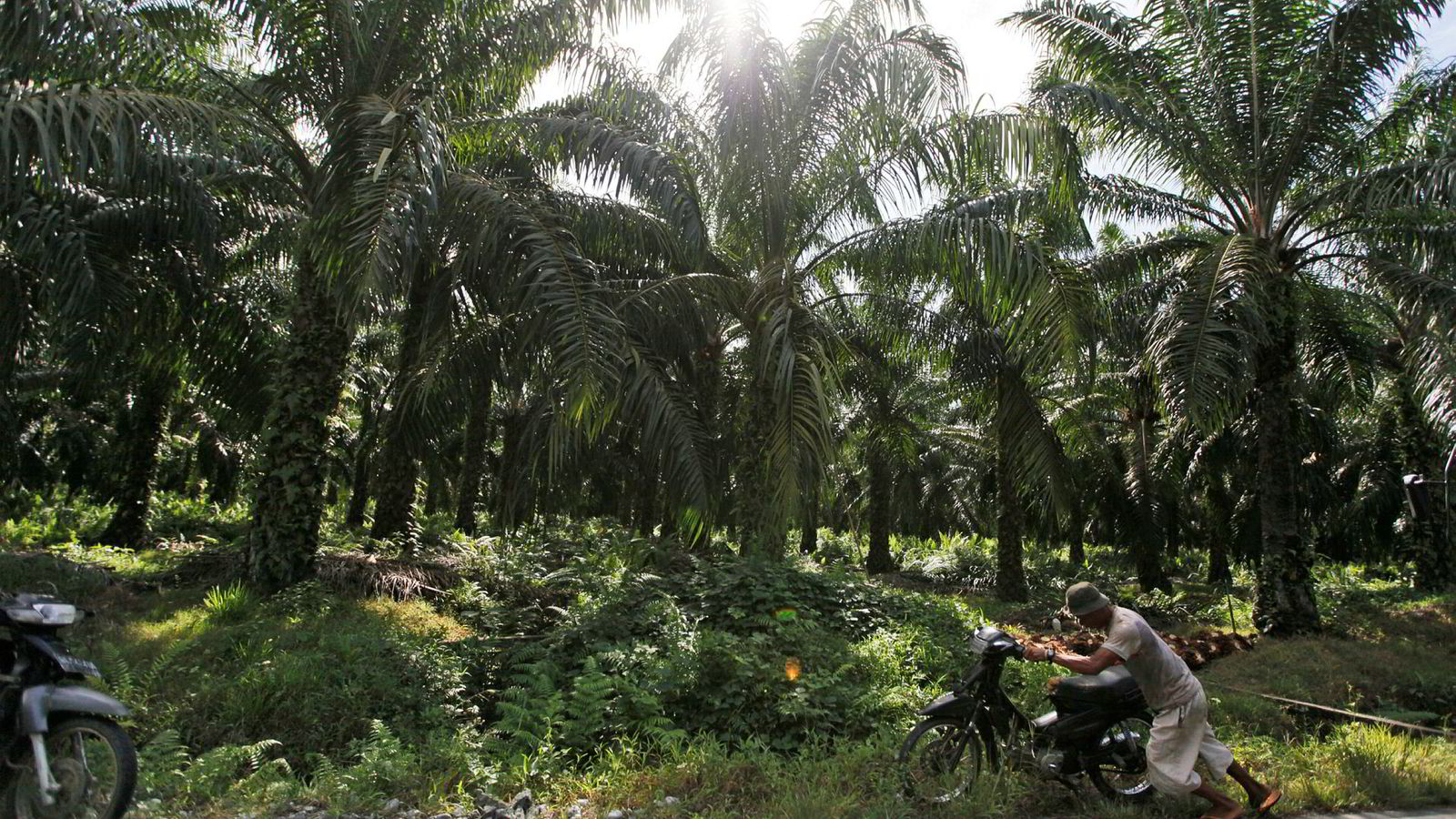Fra en palmeoljeplantasje i Aceh-provisen i Indonesia.