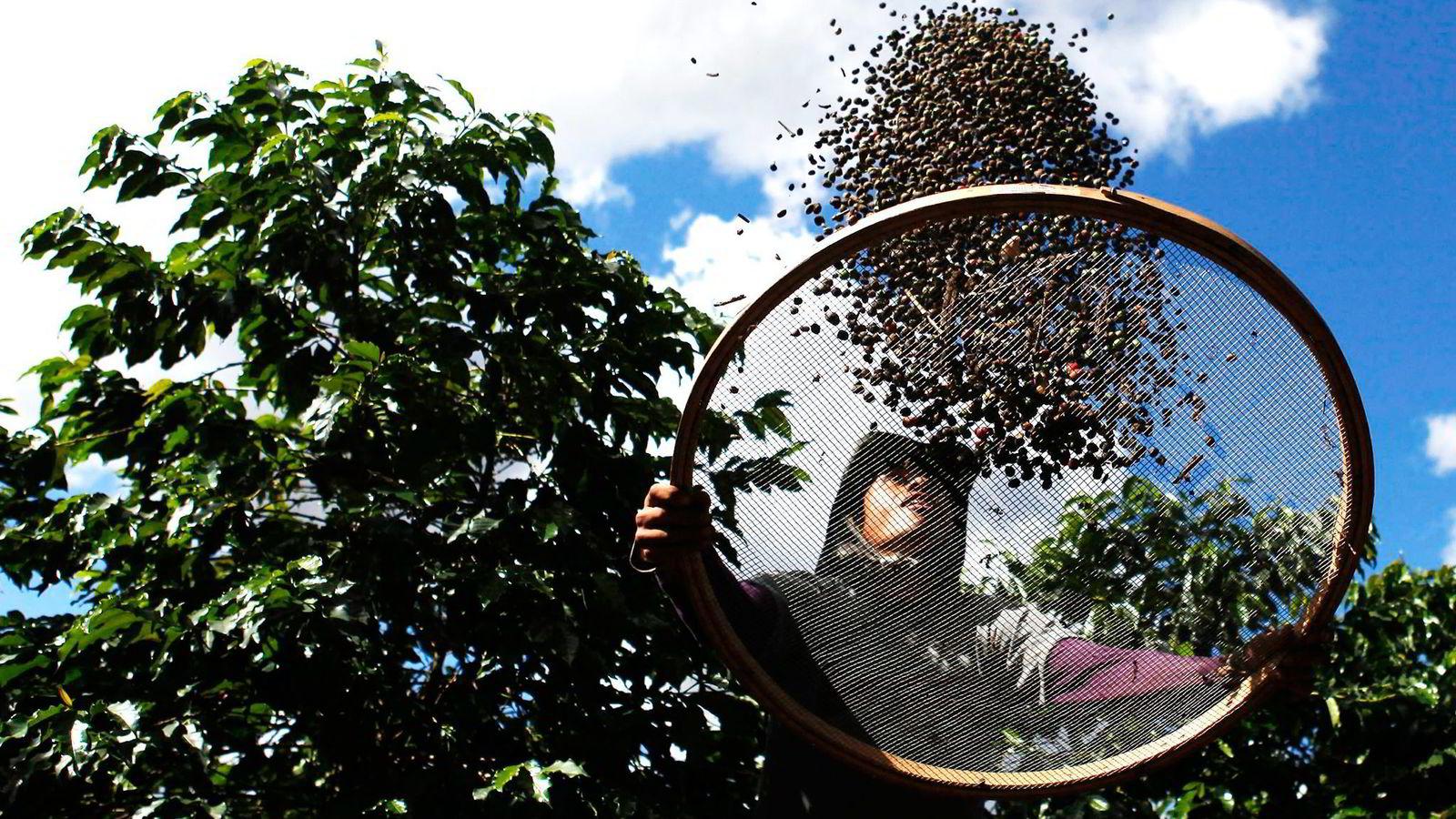 Innhøsting av kaffe i Espírito Santo do Pinhal i Brasil. Foto: Nacho Doce, Reuters/NTB Scanpix
