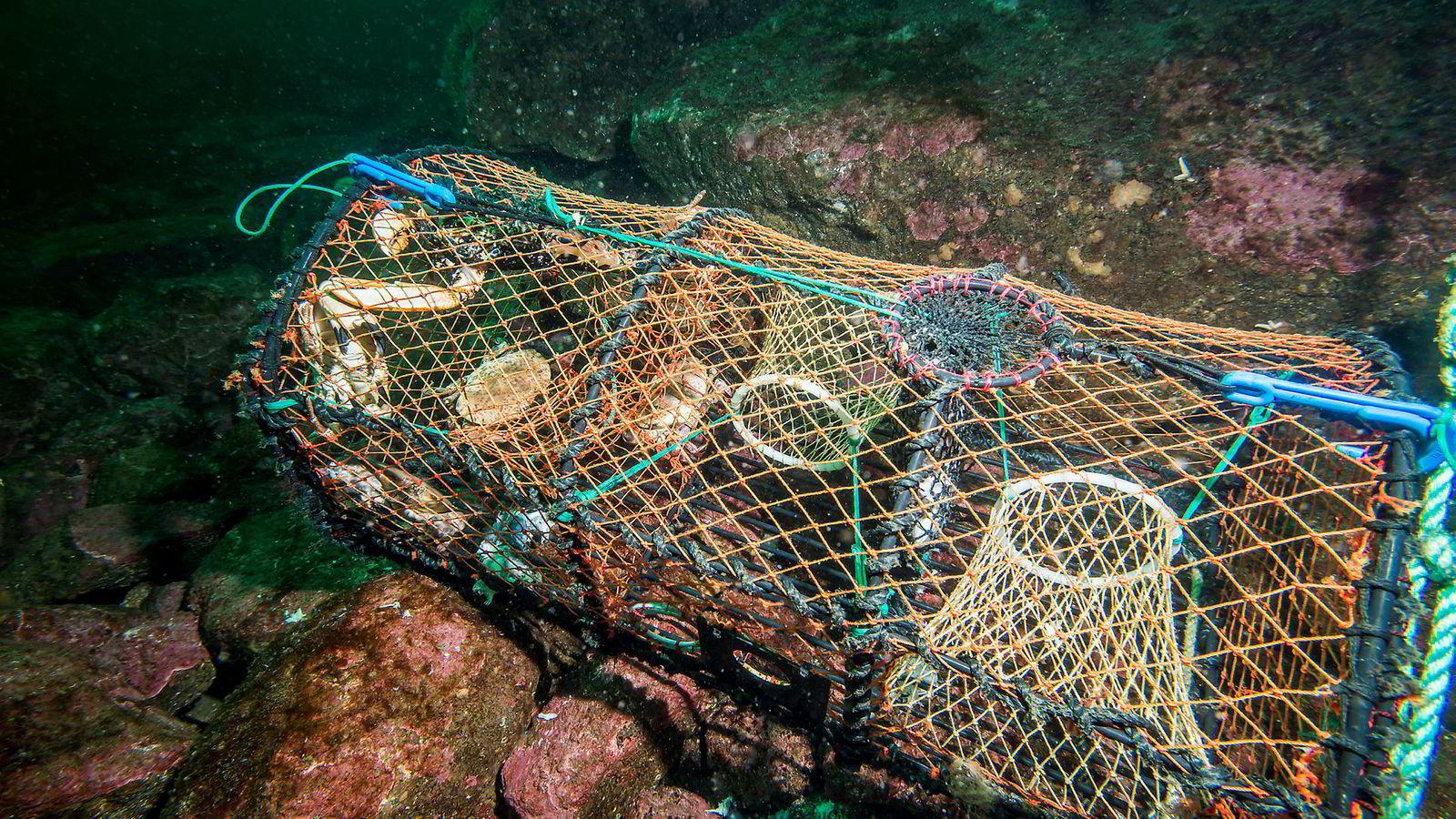 Forskerne har kommet frem til at hele 14.500 teiner ble mistet under fjorårets hummerfiske. Disse teinene, som kalles spøkelsesteiner,  fanger hummer, krabber og fisk i årevis etter at de er mistet.
