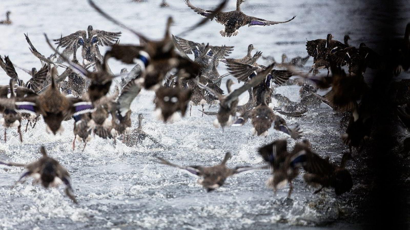 På et vann langt inne i skogene nord for Skien, letter en flokk ender. I juni ble fulgene importert fra Sverige. Foto: Christoffer Olssøn
