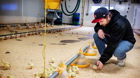 Ingen bruk av antibiotika eller narasin i økologisk kyllingproduksjon de siste årene hos de fire produsentene som ble undersøkt. På bildet kyllingbonde Magnus Olsen på Holte Gård, som både produserer økologisk og ikke-økologisk kylling uten bruk av det omstridte stoffet narasin. Foto: Klaudia Lech