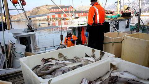 Vinterfisket starter normalt i desember eller januar, når torsken begynner å vandre inn til kysten for å gyte. I år førte stor etterspørsel og begrenset tilbud til svært høye priser på fersk torsk tidlig på året. I de første ukene i januar var eksportprisen på fersk torsk nærmere 40 kroner per kilo, skriver artikkelforfatteren. Foto: Terje Jensen