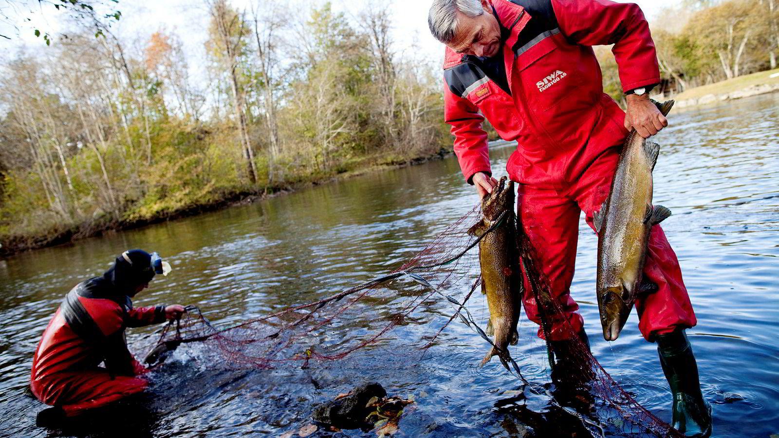For første gang kan forskere bevise at villaks med stor genetisk påvirkning fra rømt oppdrettslaks har en annen alder og størrelse når den blir kjønnsmoden. Bildet er Etne sør i Rogaland i 2010 der elveeierlagsleder Vidar Børretzen fisker ut rømt oppdrettslaks fra elven.