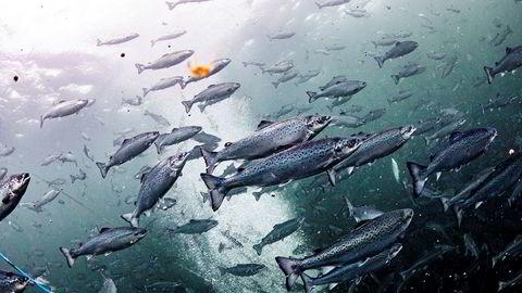 Regjeringen vil utrede muligheten for å innføre en ekstraskatt på havbruk og oppdrett i form av en grunnrenteskatt. Foto: Aleksander Nordahl