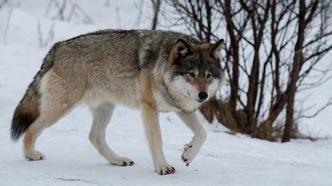 Rovviltnemndene åpner for felling av flere ulv på Østlandet i vinter.