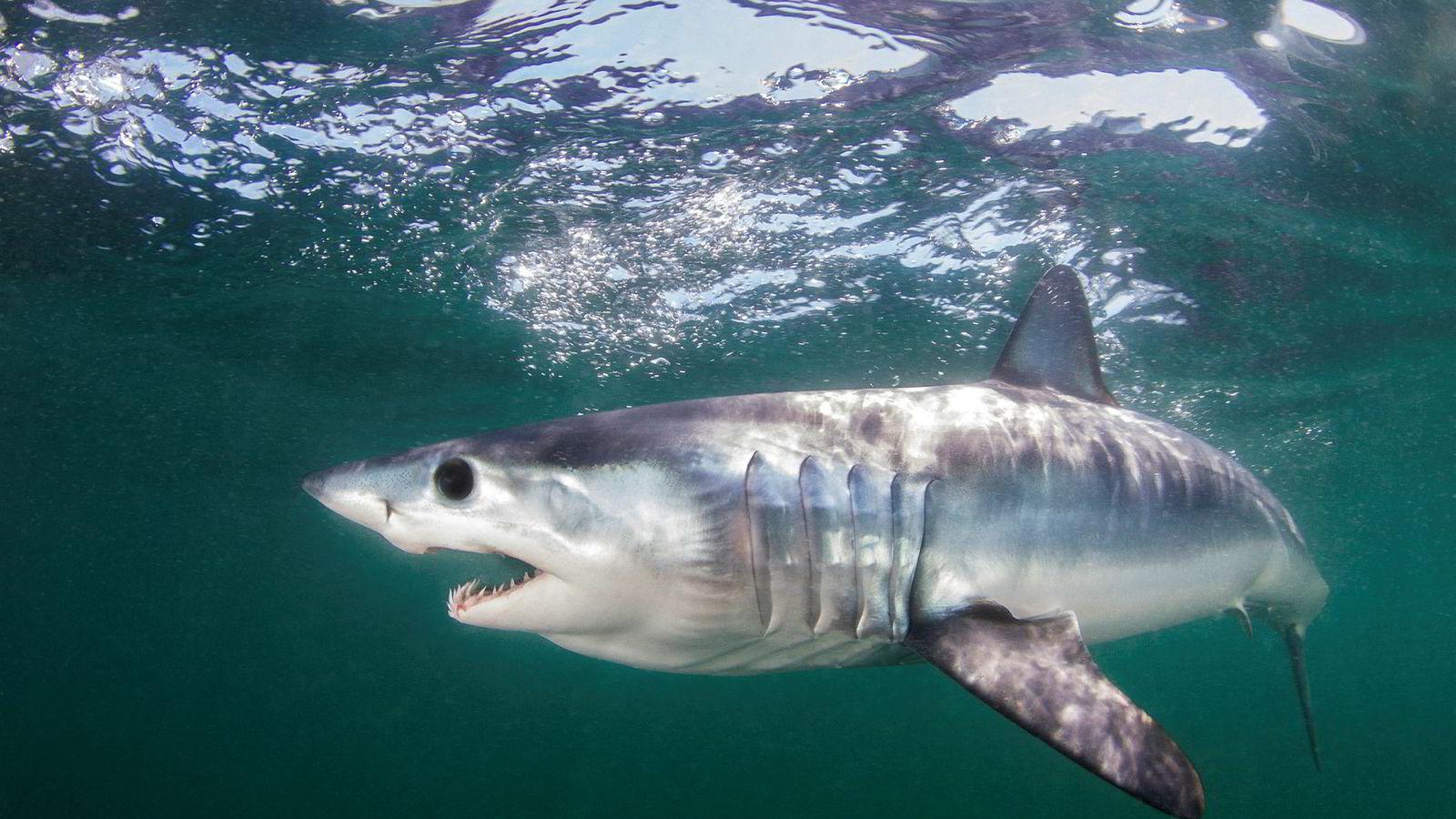 18 haiarter, deriblant makrellhaien, skal nå beskyttes mot kommersielt fiske.
