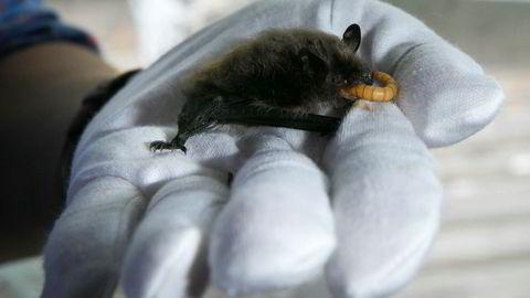 I en bolig i Sørum kommune fikk kjøper seg en ubehagelig overraskelse da han åpnet luken opp til loftet. Blant andre spennende dyr fant kjøper flere flaggermus. Bildet er fra norsk zoologisk forenings flaggermusmottak.