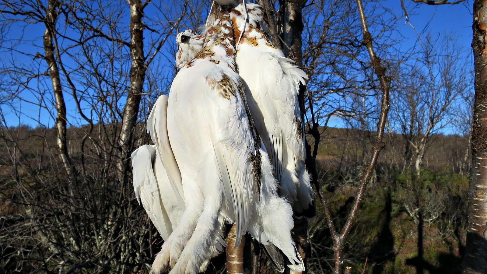 Mens Sør-Norge har hatt et oppgangsår, har rypejegere i nord opplevd en mer laber sesong. Foto: Ola Jordheim Halvorsen