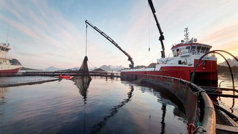 Arbeidere på Nordlaks sitt anlegg i Våtvika i Lofoten jobber døgnet rundt med å laste laks over på brønnbåten «Inter Nord», for å frakte 1,5 millioner laks med en salgsverdi på 400 millioner kroner vekk fra dødelige alger og i sikkerhet lenger nord i Lofoten.