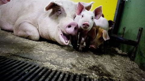 Danske svinebestander som er smittet av MRSA eksporteres til hele verden. Foto:
