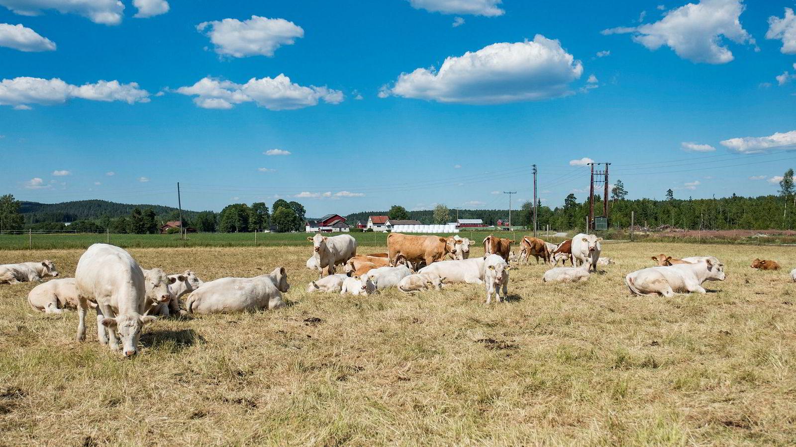 Ståle Hansen driver med ammeku på Aurskog Høland, og hadde tidligere i sommer problemer med dårlige fôravlinger som følge av tørken.
