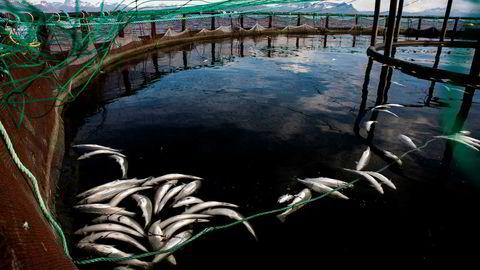 Død laks drept av alger flyter i merdene til selskapet Mortenlaks i Ofoten i Nordland. Nå får selskapet hjelp av fiskeriministeren.