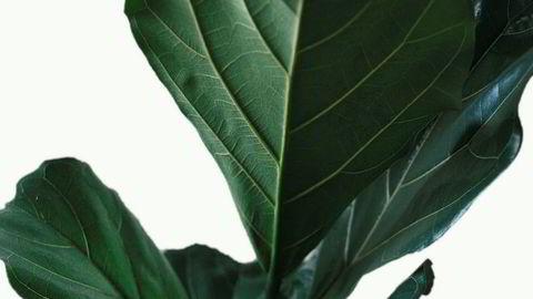 Akkurat passe. Fikentreet er en sensitiv skapning som krever en sensitiv eier – observer plantens tendenser nøye og svar på dens behov etter hvert som disse melder seg.