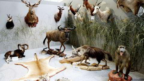 Når troféjakt på individer av truede arter tillates, medfører det også en generell legitimering av og oppmuntring til ulovlig troféjakt, skriver innleggsforfatteren.