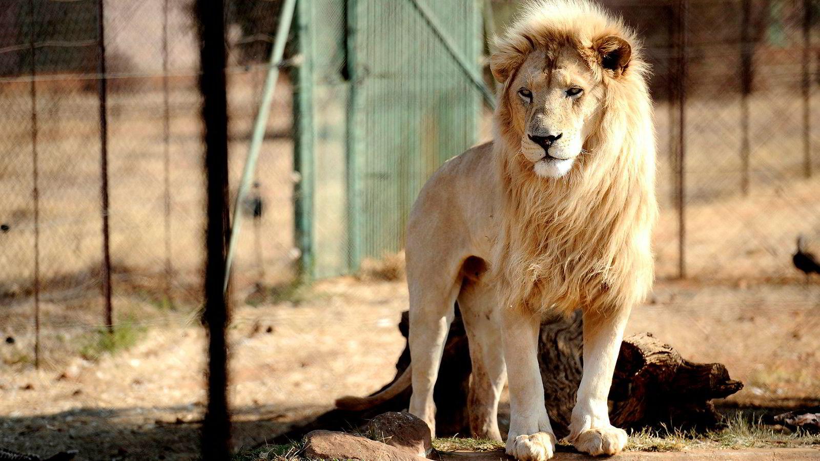Løver har status som sårbare hos IUCN, den internasjonale naturvernorganisasjonen. Dette skyldes imidlertid ikke troféjakt, men habitattap.