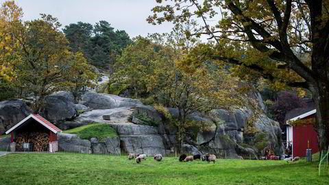 Spetalens sauer får ikke beite på området fra 1. april til 1. oktober.                   Begge foto: Fredrik Bjerknes