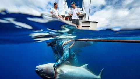 Siste stikk. Paulo Vieira stikker kniven i amberjacken. Diogo Paiva og Eduardo Lopes, som driver selskapet Azores Fishing, skal dra fisken om bord før de legger den på is. Den selges videre på restaurantmarkedet.