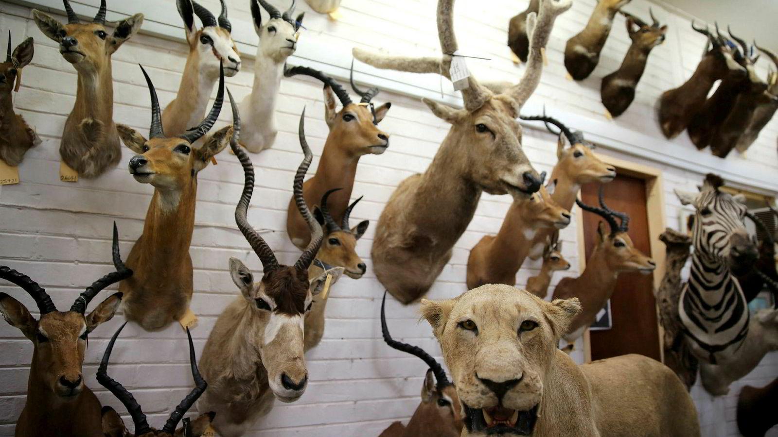 Det er mange misforståelser knyttet til troféjakt. Det felles ikke store mengder vilt på slik jakt, og jakten foregår stort sett på frittgående dyr, skriver innleggsforfatteren. Bildet viser utstoppede dyr i Pretoria, Sør-Afrika.