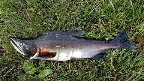 Pukkellaks fanget i Nidelva. Sommeren 2017 ble elvene langs hele kysten invadert av pukkellaks, nå kan de komme tilbake.