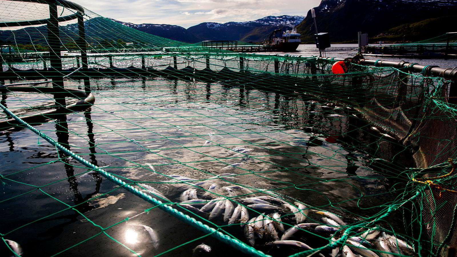 Nær 8 millioner laks er døde som følge av dødsalgene, noe som har ført til milliontap for oppdrettere. Tirsdag ble det funnet død fisk i tre nye anlegg i Troms.